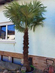 Schöne Palme Trachycarpus Fortunei