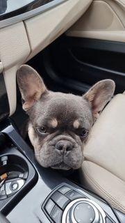 Französische Bulldogge Rüde 7 Monate