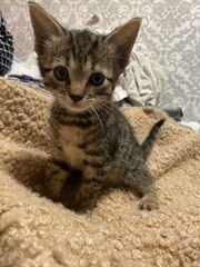 Bengal-Mix Kitten abzugeben