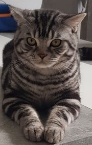 Deckkater Black silver tabby Classic