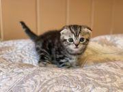 Scottish Fold BKH Kater Kitten