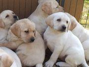 Labrador Retriever Welpen Jungen