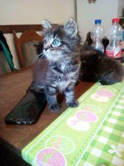 Mini Katzenbabys