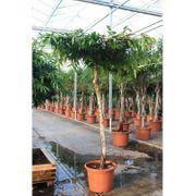 Ficus amstel King - art54756