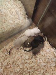 Mongolische Rennmäuse und 6 Babys