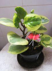 Zimmerpflanze - Bromelia Blattgrünpflanze große Aloe