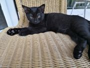 scottish straight Siam mix kitten