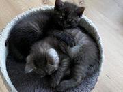 Bkh Katze Kitten Kater