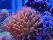 Koralle Kupferanemonen Meerwasser