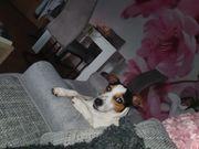 Jack-Russel Terrier sucht Hündin zum