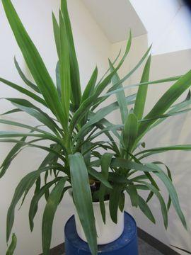 Yuccapalme Avokadobäumchen: Kleinanzeigen aus München Schwabing-West - Rubrik Pflanzen