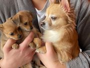 Chihuahua Terrier Mix Welpe