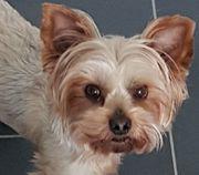 ANDROMEDA gen PÜPPI Yorkshire Terrier -