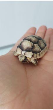 Süße Breitrandschildkröten NZ von 2020