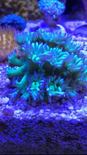 Meerwasser Ultra Goni blau tips