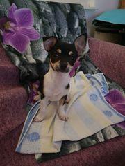 Chihuahua Hündin Kurzhaar tricolor