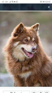 Finnischer Lapphund Welpe gesucht