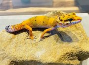 Leopardgeckos Eublepharis macularius