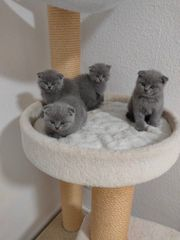 Scottish Fold Kitten Abgabebereit
