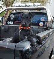 Patterdale Terrier Rüde 14 Monate