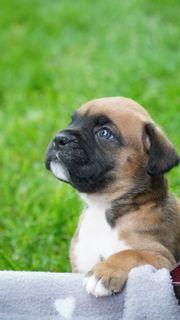 Wunderschöne Boxer Welpen