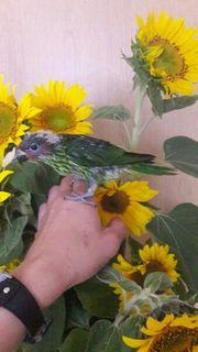 Veilchenlori superzahm Handaufzucht Papagei Baby