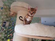 Wunderschöne Bengal Kitten ABGABEBEREIT