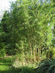 Großer Bambus für Garten