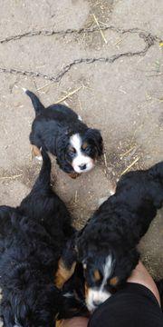 Berner Sennenhund Hunde Kaufen Verkaufen Auf Quoka De