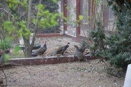 Kalifornische Schopfwachteln Wachteln Schopfwachtel: Kleinanzeigen aus Könnern - Rubrik Vögel