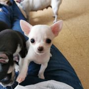1 reinrassiger Chihuahua Welpe Rüde