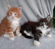 Main Coon Kitten - Kater