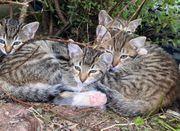 Junge Kätzchen Kitten