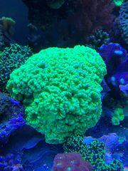Caulastrea Furcata Korallen Korallenableger Meerwasser
