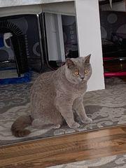 Wunderschöne BKH Katze