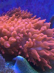Meerwasser Kupferanemonen Entacmaea quadricolor zu
