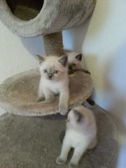 Zauberhafte BKH Kitten Abgabebereit