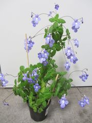 Zimmerpflanze - Afrikanisches Veilchen - Blauer Paul