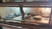 2 Königspython mit OSB Terrarium