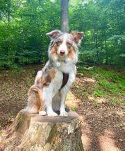 Wurfankündigung reinrassige Australian Shepherd Welpen