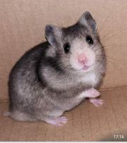 Hamster Goldhamster Babys dürfen ab