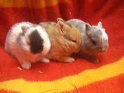 Minizwerge Zwergkaninchen babys 8 Wochen