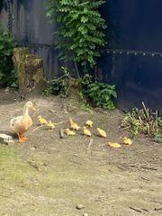 Sachsenenten aus April21 Ente Erpel