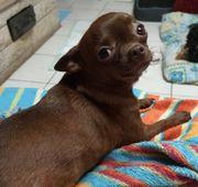Chihuahua Mädchen sucht eine liebevolles