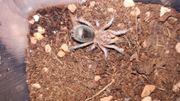 Grammostola rosea Slings