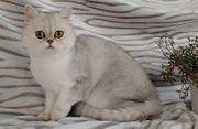 Exotic Shorthair Katze zu vergeben