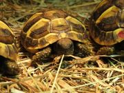 Grieche Landschildkröten