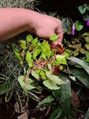 Begonia Papaya Begonie sutherlandii Regenwald