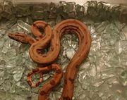 0 2 Boa constrictor sabogae
