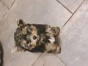 Yorkie Yorkshire Terrier Welpen